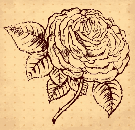 hand drawn vintage illustration with rose Stock Vector - 17921946