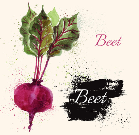 watercolor technique: Beautiful hand painted illustration with beet in watercolor technique. Illustration