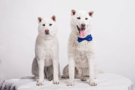 Kishu Inu white japanese beautiful dog middle size