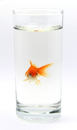 Gold fish-Need Space on white background photo