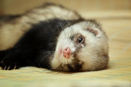 biege: Funny ferret lying on biege bamboo mat