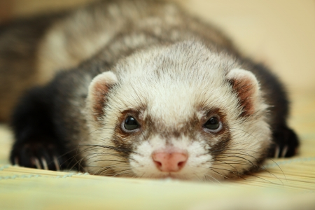 Funny ferret lying on biege bamboo mat photo