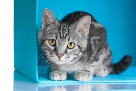 Tabby grey cat sitting in blue cube photo