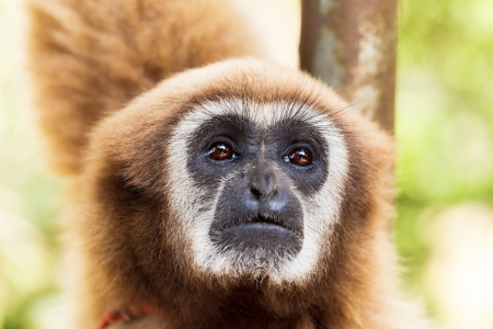 monkey, brown gibbon or Lar Gibbon, Thailand photo