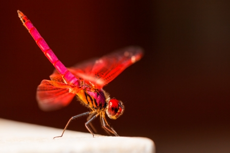 Red Dragonfly sits on a stone on Brown background photo