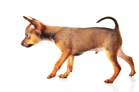 puppy of toyterrier on white isolated background photo