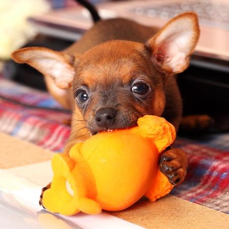 toyterrier: puppy of toyterrier plays with orange toy Stock Photo