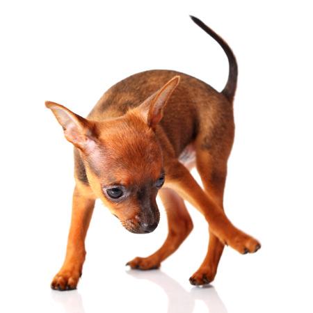 toyterrier: puppy of toyterrier on white isolated background