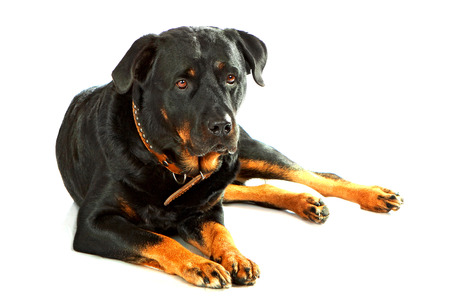 rott: Cute rottweiler lying on white isolated background Stock Photo