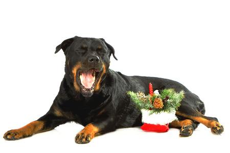 rott: Rottweiler mentir sobre fondo blanco aislado con el �rbol de a�o nuevo Foto de archivo