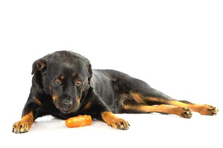 rott: Rottweiler que miente en el fondo blanco aislado que come la zanahoria Foto de archivo