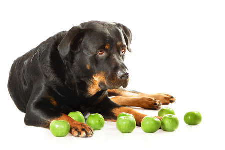 rott: Rottweiler lying on white isolated background with green apple Stock Photo
