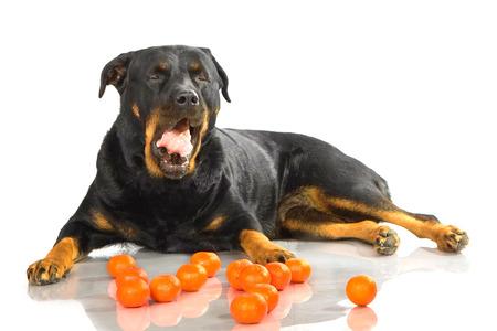 rott: Rottweiler mentir sobre fondo blanco aislado con mandarina Foto de archivo