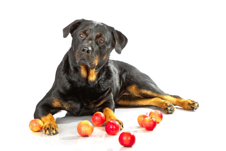 rott: Rottweiler lying on white isolated background with red apple
