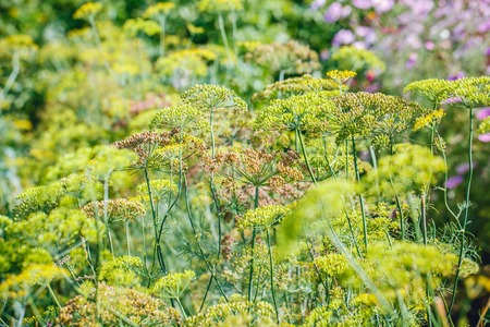 foeniculum vulgare: above view of flowering dill herbs Stock Photo