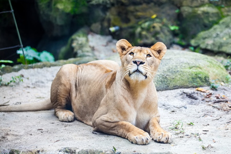 Female lion, Lioness on the ground waits for his food in Zoo Stock Photo