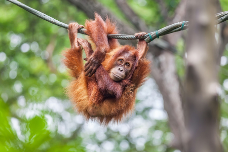 Young Orangutan with funny pose swinging on a rope Banque d'images