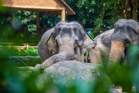 Sad young elephant laid his head on the stone and looked at the camera Stock Photo