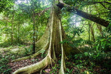 Big tree buttress roots on a Dipterocarp rainforest tree while sunbeams shining through the leaves in Than Bok Khorani National Park in Krabi province, Thailand Stock Photo