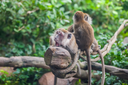 Surprised monkey with 2 monkeys sitting behind her on the liana in the zoo 版權商用圖片