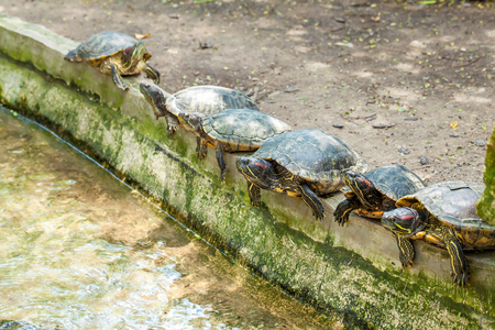 Group of six red-eared terrapins lying in a row near the water canal in the zoo, Thailand