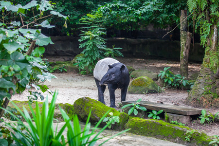 Malayan tapir (tapirus indicus, asian tapir) among green plants in the zoo