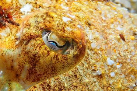cuttlefish: Cuttlefish eye Stock Photo