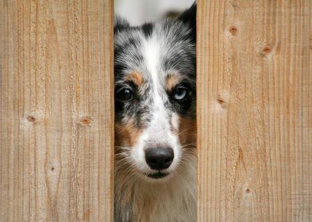 lassie: Blue merle sheltie peaking between the fence