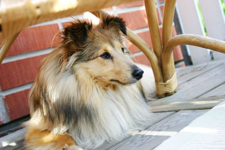 Brown sheltie laying under the patio chair Фото со стока