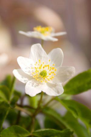 anemone flower: Primo piano di legno bianco fiore di anemone