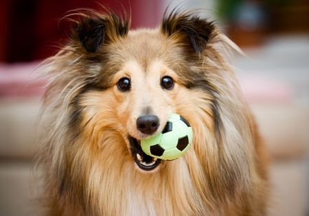 Brown sheltie playing with green ball toy Stock Photo - 931552