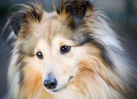 sheltie: Close up of cute little sheltie dog Stock Photo