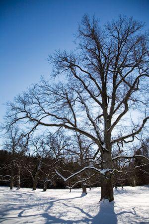 Big Ahornbaum im Winter Lizenzfreie Bilder - 2652427