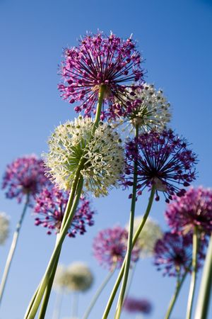 White and purple flowers against blue sky photo