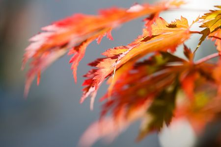 Japanese maple, also known as fullmoon maple photo
