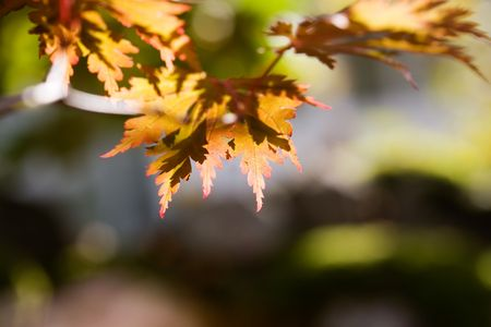 Japanese maple, also known as fullmoon maple Stock Photo - 3595880