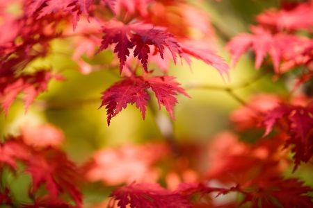 Japanese maple in beautiful autumn colors Stock Photo - 3621647