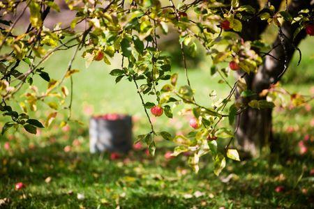 Big apple tree in beautiful autumn colors Stock Photo