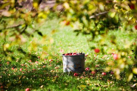 feuille arbre: Pommes en seau sous le pommier