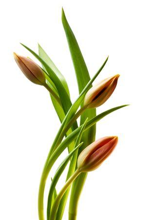 Colorful tulips on isolated background Stock Photo - 4116034