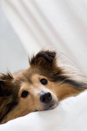 sheltie: Cute sheltie laying on bed Stock Photo