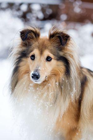 Sheltie en plein air en hiver Banque d'images