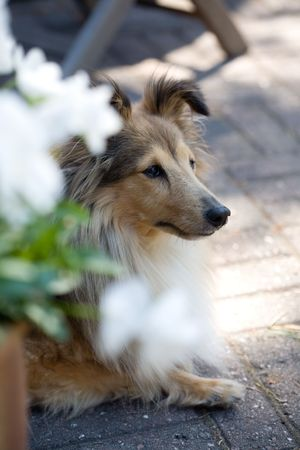 Sheltie outdoors in summer Stock Photo - 4944579