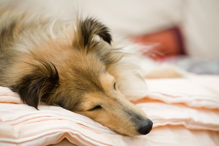 Sheltie sleeping on the couch