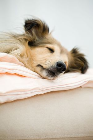 Sheltie dormir sur le canap�