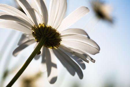 white daisy: Close up of beautiful daisy