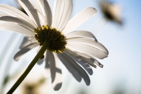 Close up of beautiful daisy Stock Photo - 5101458