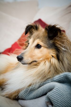 sheltie: Sheltie laying on the couch Stock Photo