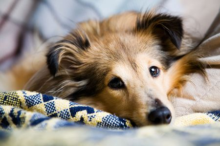 Sheltie laying down on livingroom couch Stock Photo - 6052209