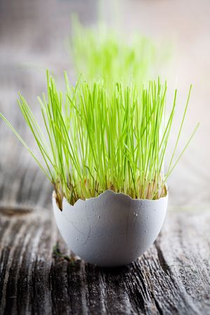 Easter grass growing in egg shell, shallow focus photo